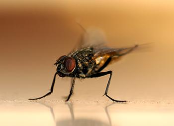 komarji insekti